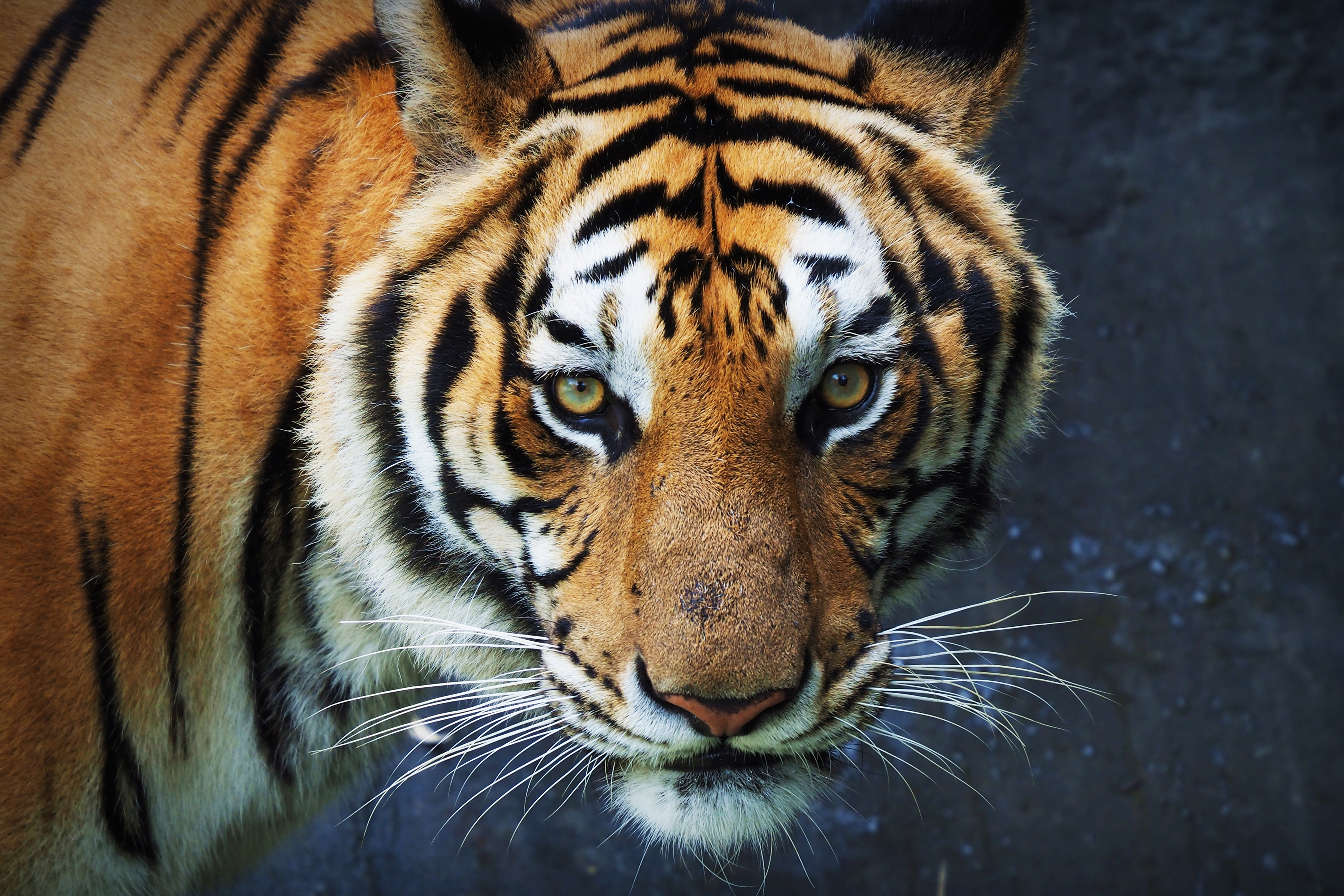 Tiger large image